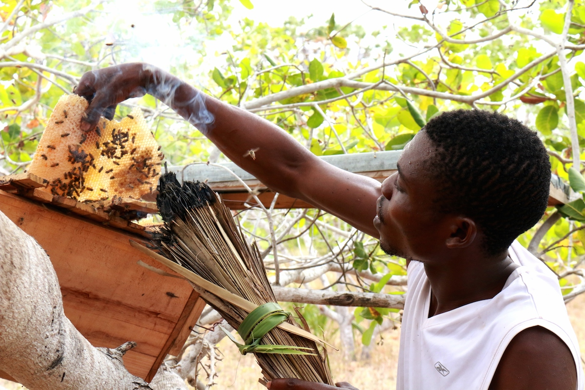 A member of the Sanye community harvests honey at Daya Village. Photo by Sophie Mbugua