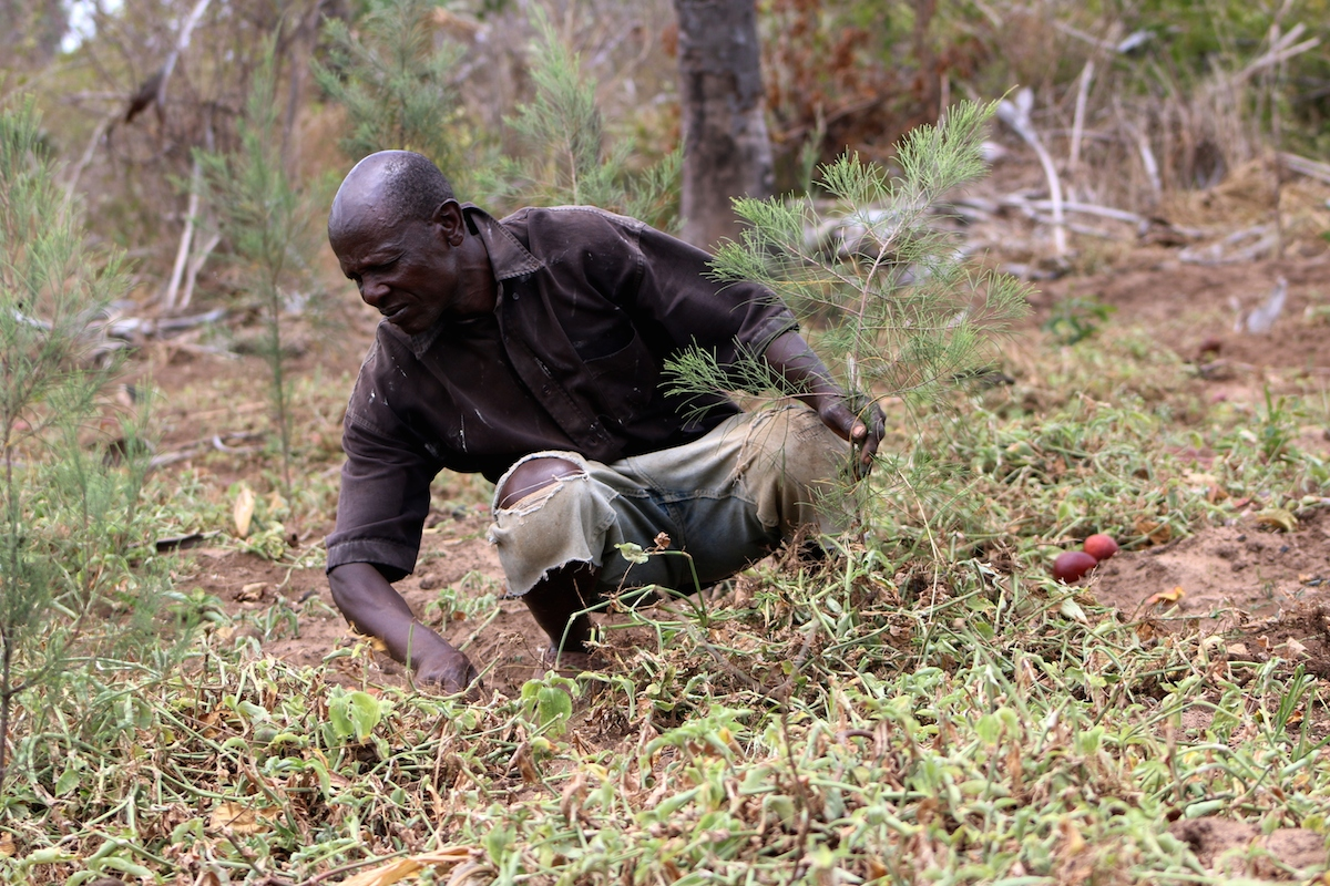 Bernard Kitheka tends to his few surviving seedlings. Photo by Sophie Mbugua