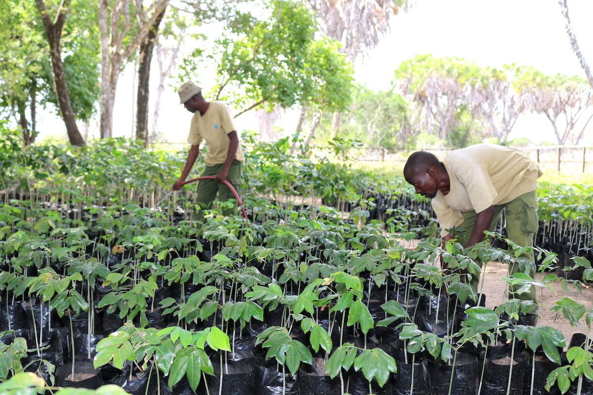 Christopher-Omusula-the-Nursery-attendant-at-Amu-Ranch-attends-to-seedlings-awaiting-replanting-during-rainy-season