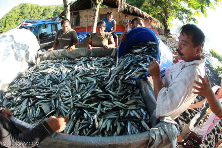 Villagers in Sulawesi, Indonesia load a truck with sardines. Photo by Rhett A. Butler