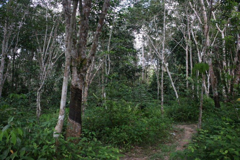 Agroforestry, such as 'jungle rubber' plots here in Indonesia, provide much richer habitat for biodiversity than mono-cropped oil palm or rubber trees. Photo courtesy of Yann clough