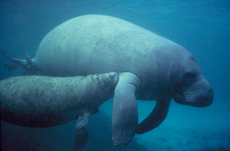 Manatees once played at the mouth of the Rio Doce, but are long gone. The toxic mud sludge mining spill threatens coastal nesting sea turtles. Photo by Galen Rathbun courtesy of US Fish and Wildlife Service