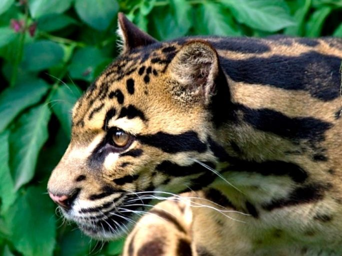 A clouded leopard in Kalimantan. Photo by Spencer Wright/Wikimedia Commons