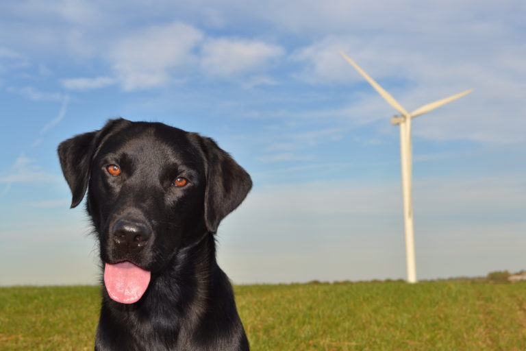 Research teams in the UK employed dogs to find the carcasses of bats killed by wind turbines. Photo by Victoria Stent