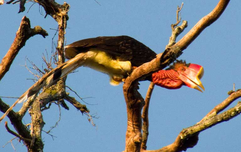 "The helmeted hornbill (Rhinoplax vigil) is one of Southeast Asia's most unique birds, with a large ivory-like casque that is used by males in head-to-head aerial combat. The scarlet-colored ""red ivory"" casques are highly valued by illegal traffickers. Photo © Y. Hadiprakarsa/IHCS"