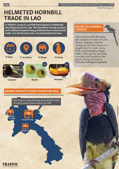 This TRAFFIC infographic was created to educate the public about the bird's plight. Infographic ©arienaturephotography. Helmeted hornbill photo embedded in the infographic ©Muhammad Alzahri