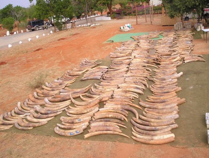 Ivory seizure made in Singapore in 2002, weighing 6.5 tonnes. Photo by Professor Benezeth Mutayoba, Sokoine University of Agriculture, Tanzania.