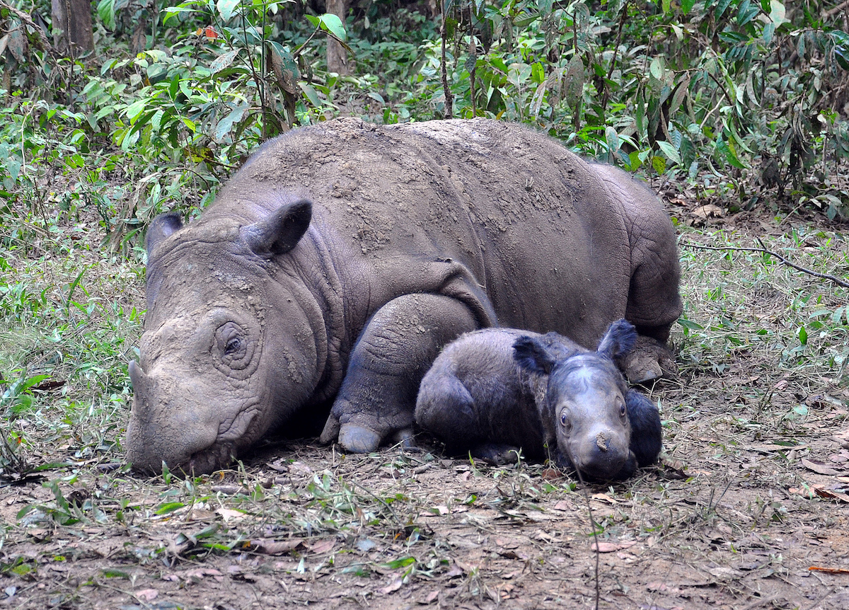 Ratu and Baby Andatu. Photo courtesy of the International Rhino Foundation.