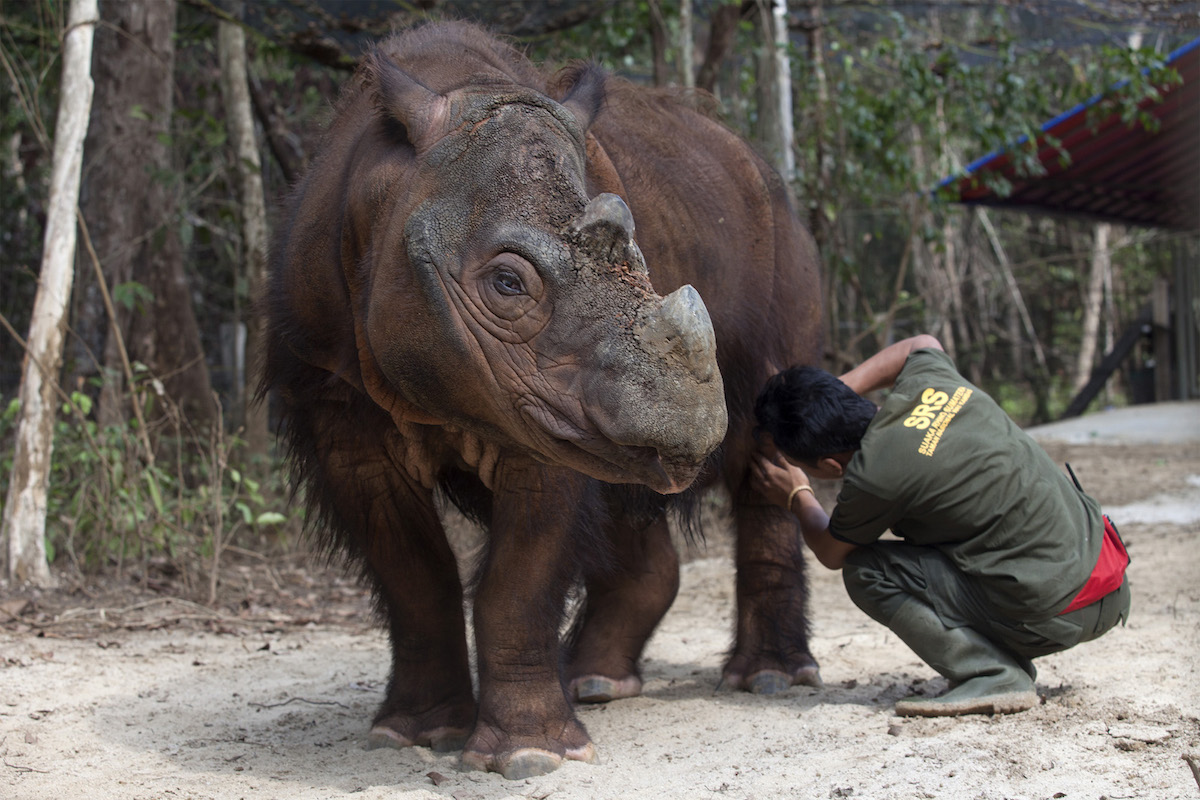 from ohio to indonesia captive bred sumatran rhinos may be the