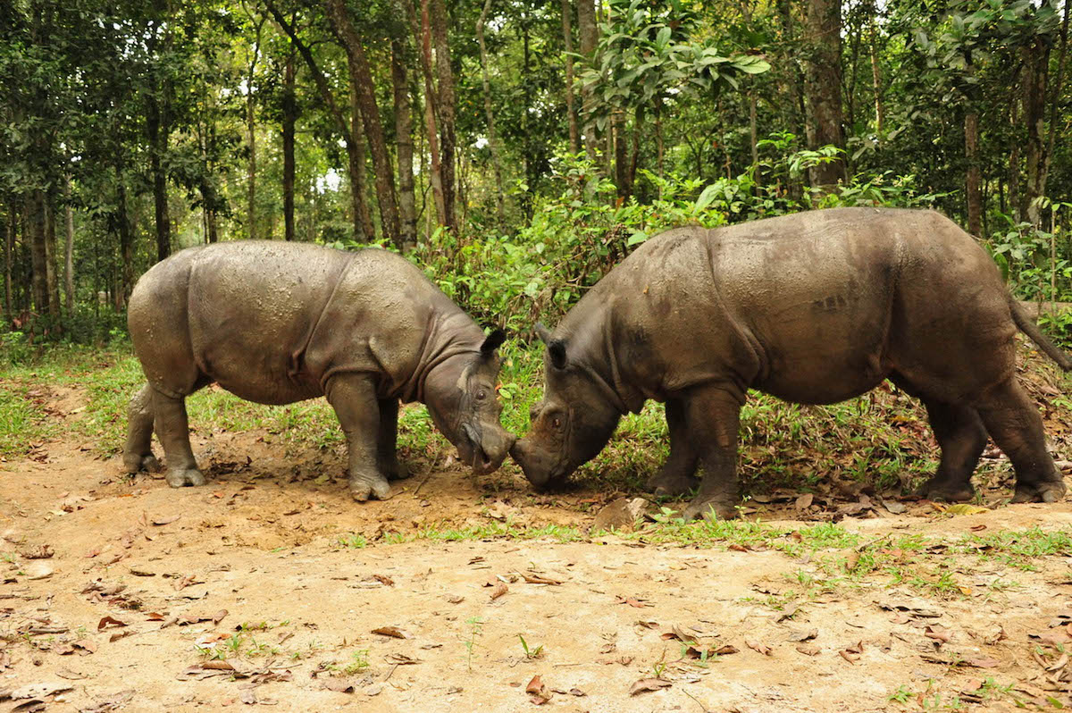 Andalas and Bina meet at the Sumatran Rhino Sanctuary. Photo by Dedi Candra.