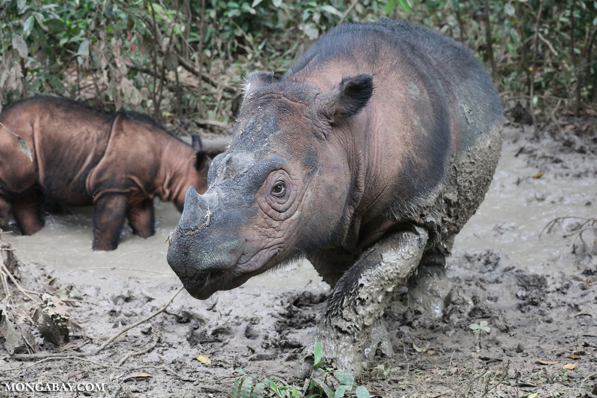 Sumatran Rhinos at the SRS. Photo by Rhett Butler.