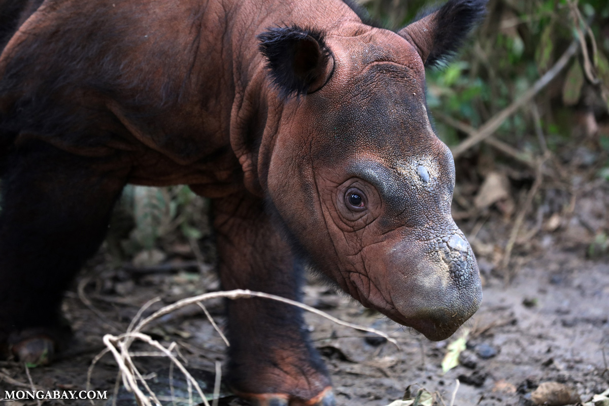 Rhino calf at the Sumatran Rhino Sanctuary. Photo by Rhett Butler.