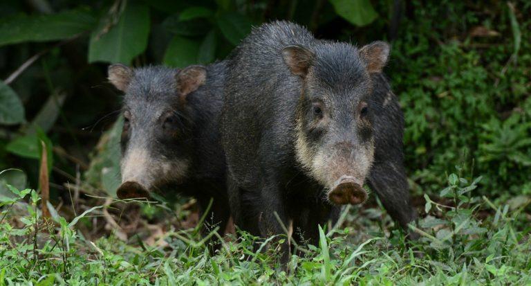 huangana_manu_biodiversidad_mongabay-8