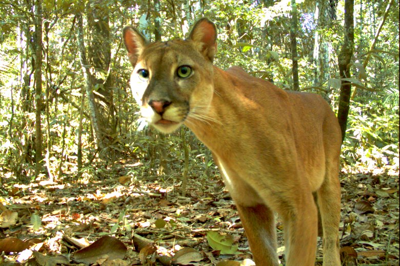 Photograph of a puma (Puma concolor) taken by a camera trap. Photo courtesy of Manu National Park