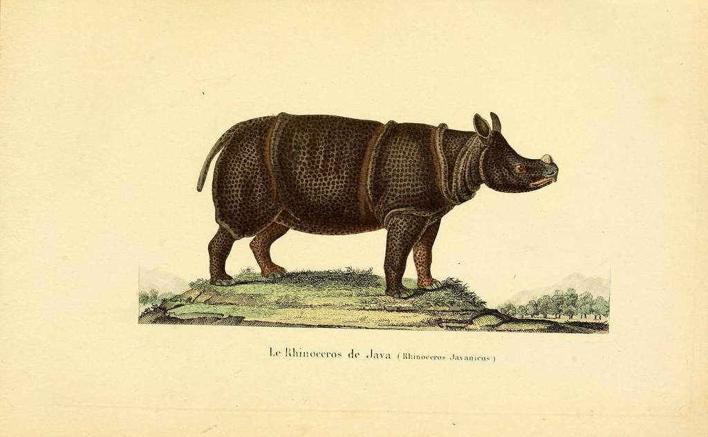 Nineteenth century illustration of a Javanese rhino. The species is so elusive few photographs exist. Image courtesy of the Biodiversity Heritage Library.