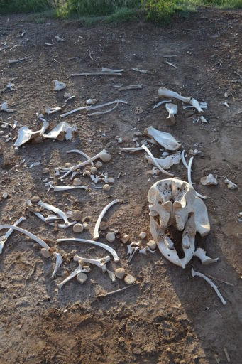 Scattered bones of an African elephant, a victim of drought, found on the edge of Tsavo West National Park, Kenya. Trump's promised withdrawal from the Paris Climate Agreement is not only a threat to the world's nations and people, but to the wildlife with which we share the planet. Photo by Chris T Cooper licensed under the Creative Commons Attribution 3.0 Unported license