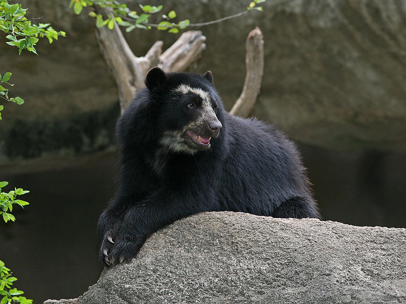 ilkina is also applying the optimization program in Ecuador to conserve the Andean, or spectacled, bear, South America's only bear species, which faces threats from habitat loss and fragmentation and poaching. Photo credit: BirdPhotos.com.