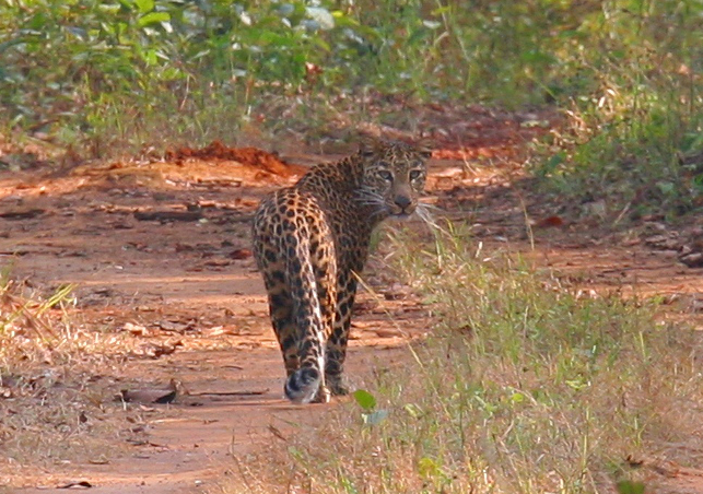 Movement corridors are vital to gene flow among core habitat areas and promoting genetic diversity in a species, as the tigers and leopards prowling through forest corridors in India illustrate. Photo credit: Sandeep Sharma and Trishna Dutta.