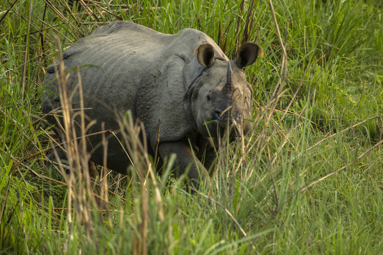 One of the 645 rhinos counted in Nepal during a 2015 population survey. Photograph by Sumanth Kudavai/Felis Creations/WWF.