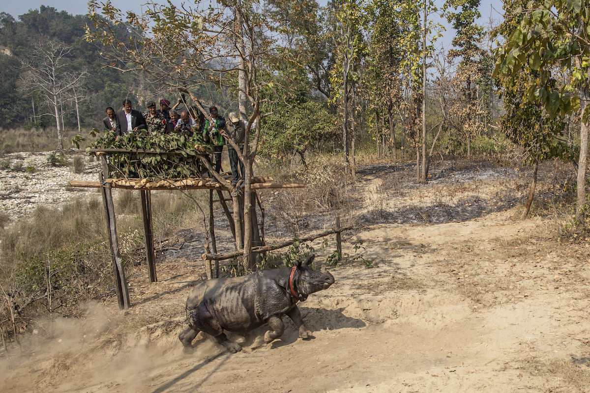 rhino-released-samir-jung-small-thapa_wwf-nepal-hariyo-ban-program