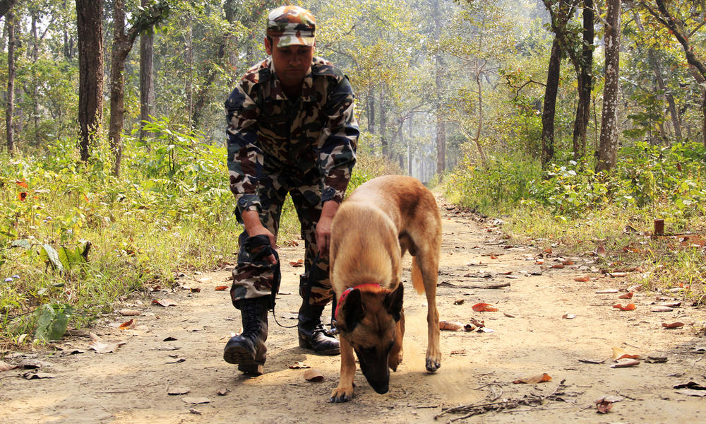 Anti-poaching dog Murray being trained in Chitwan National Park. Photo by Akash Shrestha/WWF-Nepal.