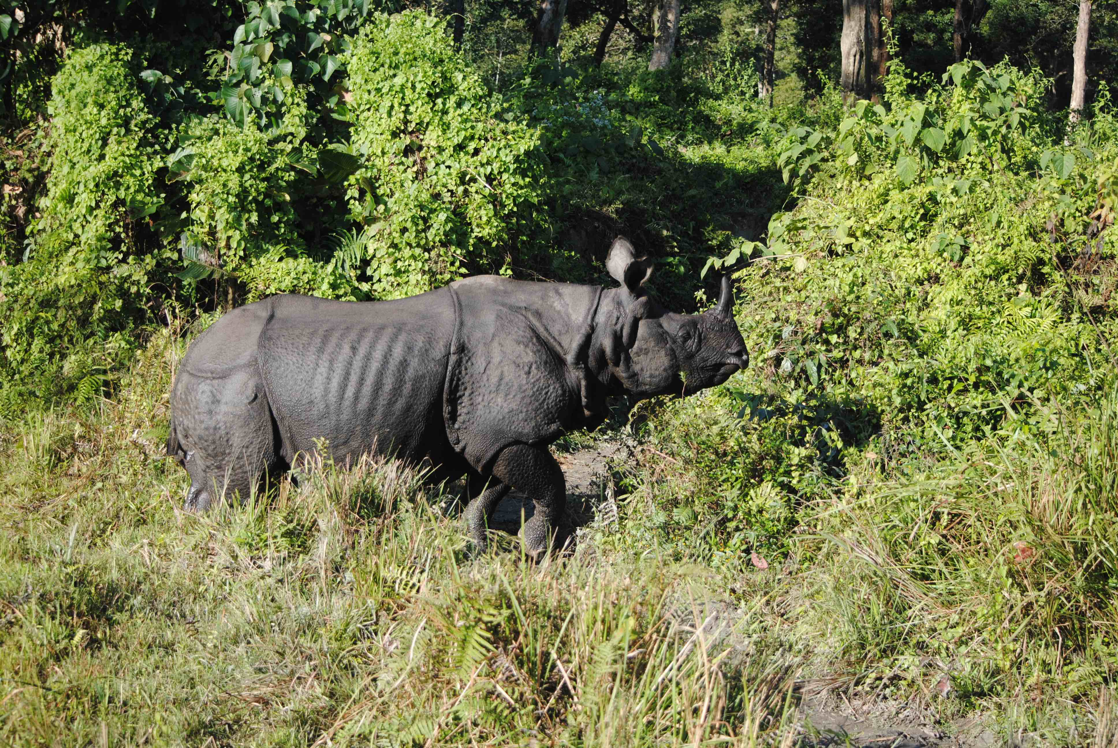 A greater one-horned rhinoceros in West Bengal's Jaldapara National Park. Invasive species including Mikania are also found in that state's rhino reserves. Photo credit: Udayan Dasgupta