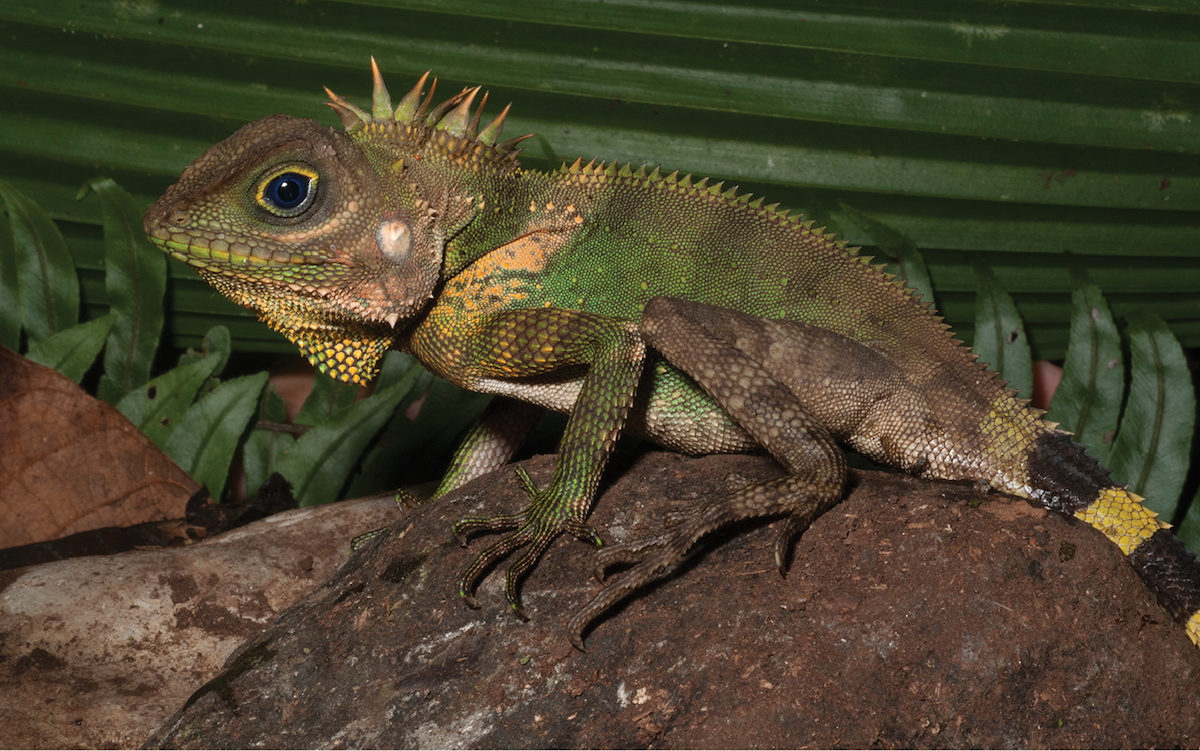 Gonocephalus cf. interruptus, one of the many reptiles catalogued in Mindanao. Photograph by Rafe Brown.