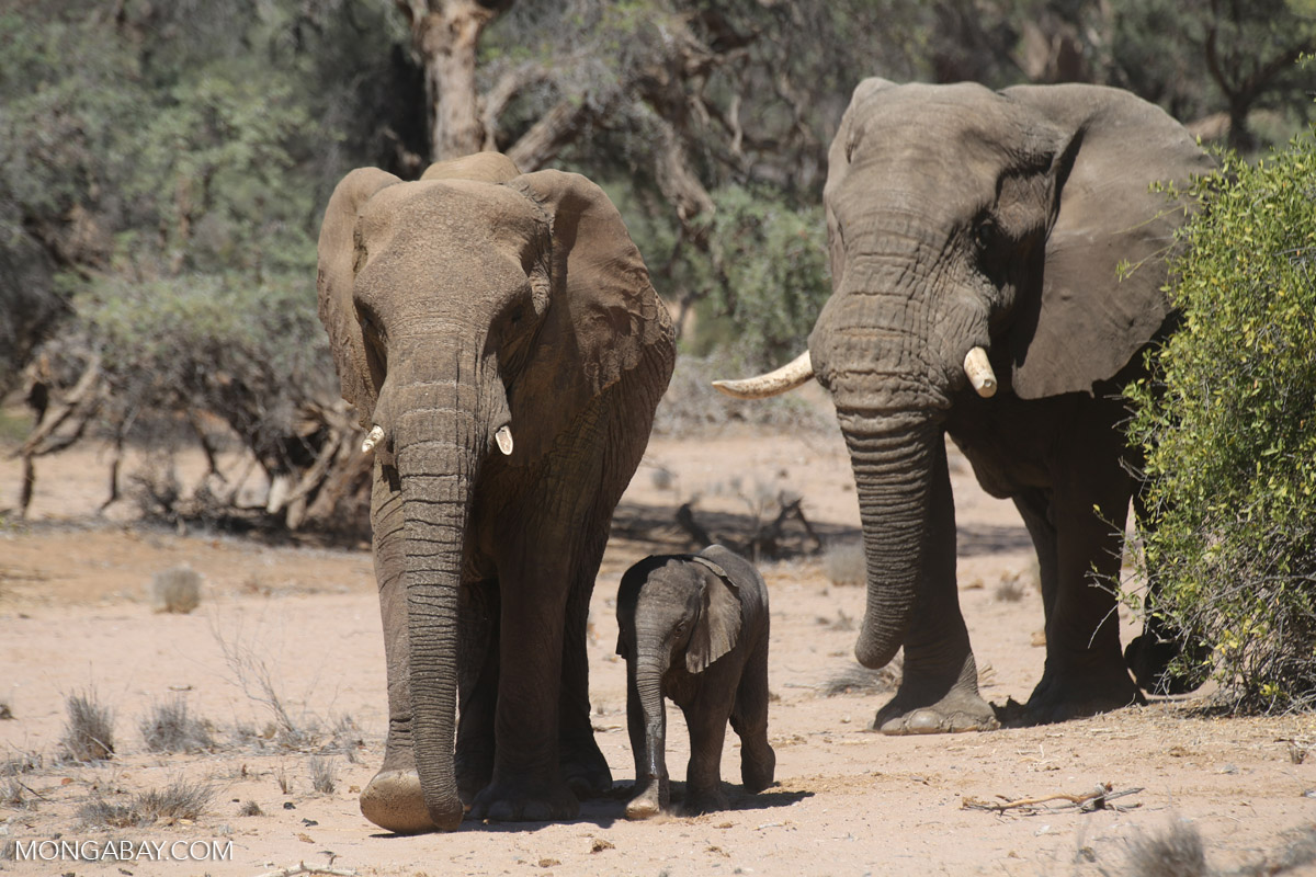 Desert elephants in Namibia. Poaching of these and other African species has spiked in recent years, driven largely by East Asia's demand for ivory. Photo by Rhett A. Butler.