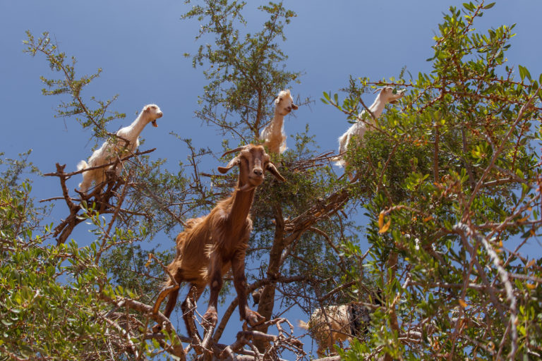 Goats in an argan tree in Morocco. Photo courtesy of Grand Parc - Bordeaux, France via Wikimedia Commons (CC2.0)