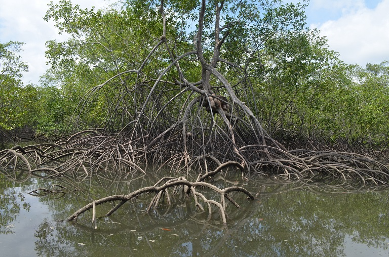 An image showing the deep-set roots of the mangrove with their strong, crisscossed roots that create a natural barrier against tsunami and floods. Photo courtesy of National Natural Parks of Colombia