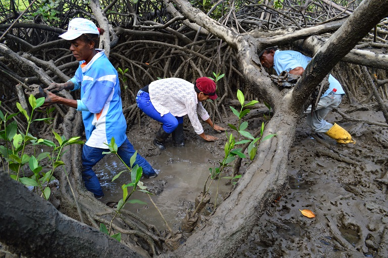 Concheras, including some men, from Sanquianga picking piangua in the mangrove. Photo courtesy of National Natural Parks of Colombia
