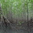 The deep-set roots of the mangrove with their strong, crisscossed roots in Sanquianga National Park. Photo courtesy of National Natural Parks of Colombia