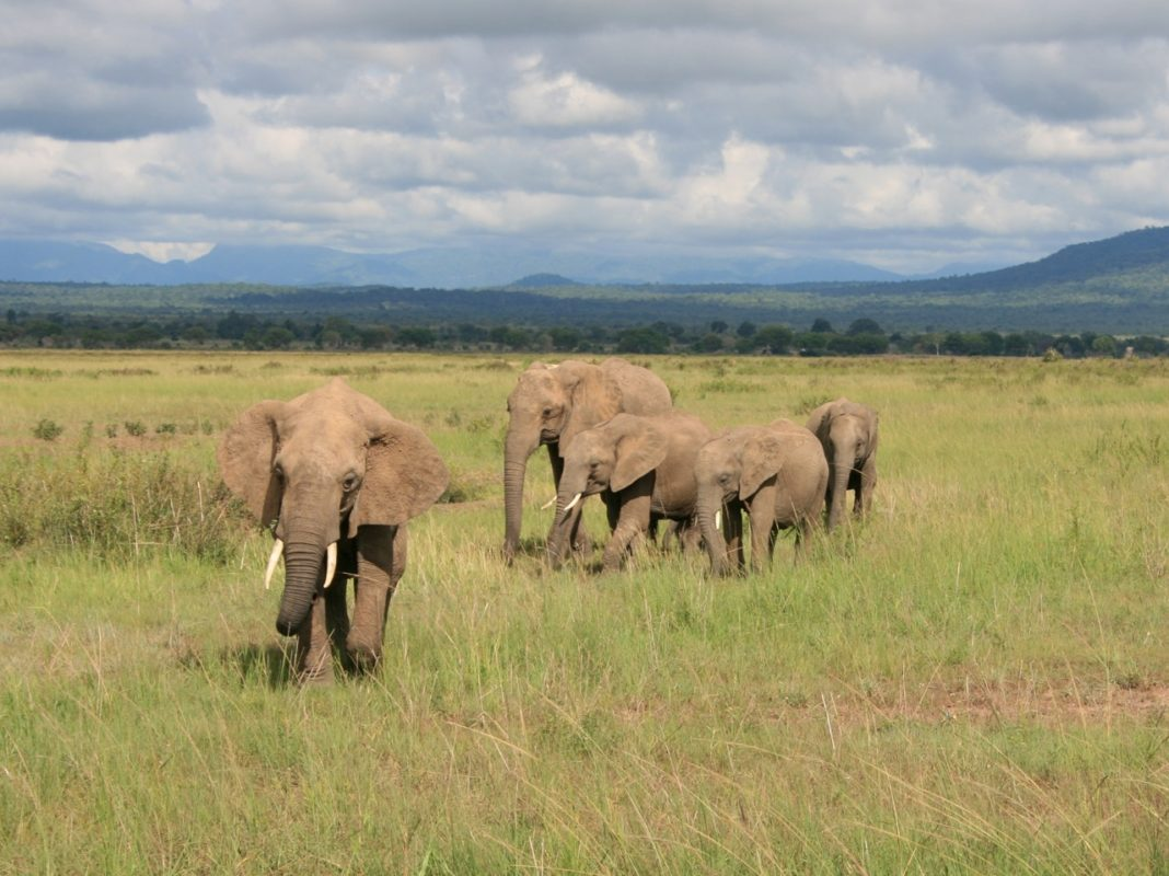 Elephants in Mikumi National Park, Tanzania, where some of the study's elephants originated. Photo courtesy of Ashley Coutu.