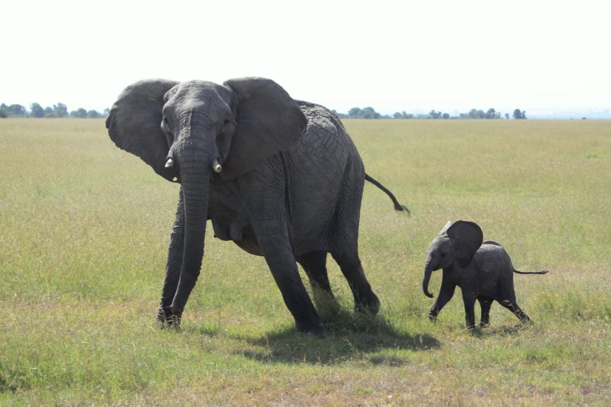 An elephant mother and calf in Ol Pejeta Conservancy, Kenya. Photo by Allison Mitchell.