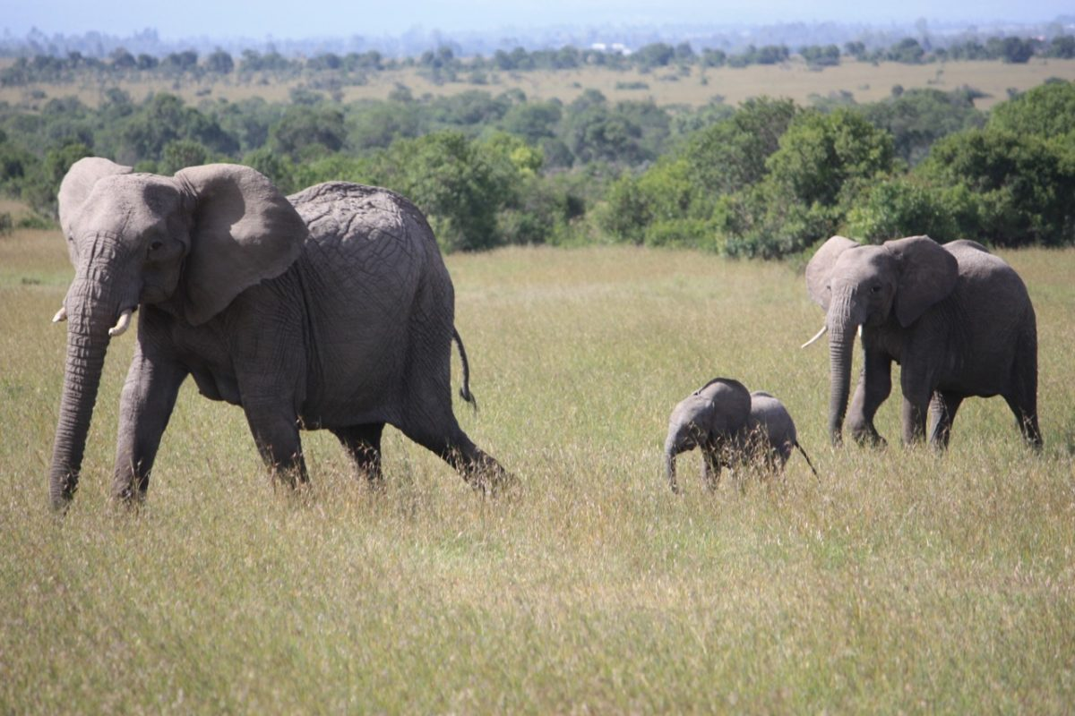 Elephants in Ol Pejeta Conservancy, Kenya. Photo by Allison Mitchell.