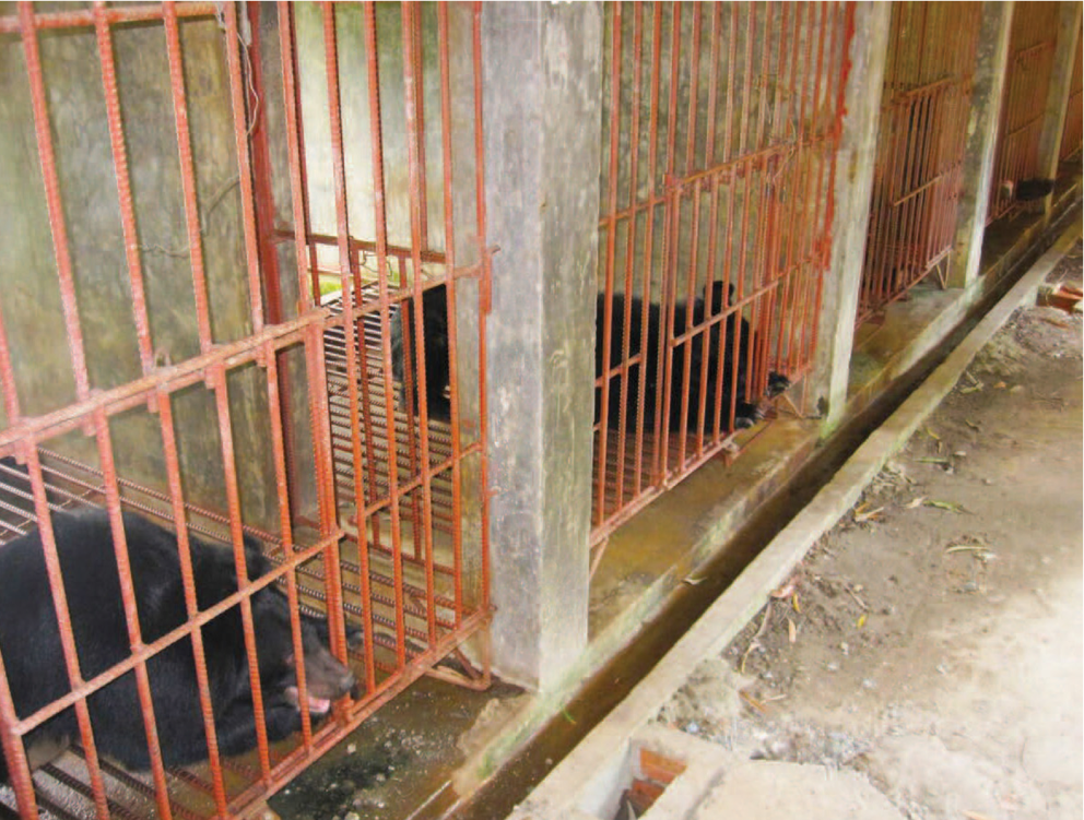 Vietnam, where trade in bear bile is illegal but keeping bears in farms is not, is thought to hold some 1,250 animals. Photo by Daniel Wilcox/TRAFFIC.