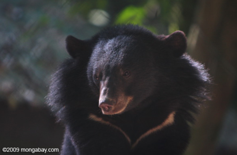 POLL: Should the bear bile trade ban be strictly enforced?