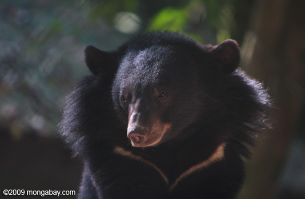 Asiatic black bears are the most common bears in Vietnam's bear farms. Photo by Rhett Butler.