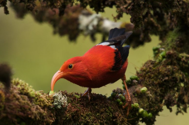 The 'I'iwi is a bright red honeycreeper with a matching orange-red bill. The forest bird is native to Hawai'i. Photo credit: Lucus Behnke.
