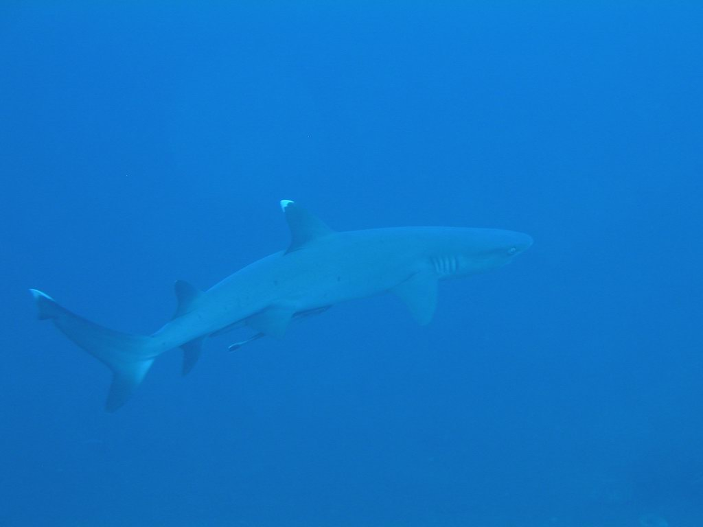 A whitetip shark in the waters near Lombok island. Photo by Chika Watanabe/Flickr