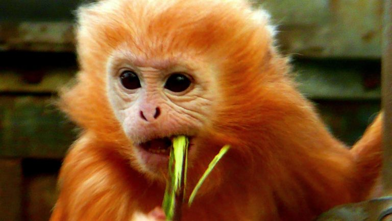 9.A baby Javan lutung (Trachypithecus auratus). Photo by tom_bream07: Attribution-ShareAlike 2.0 Generic License