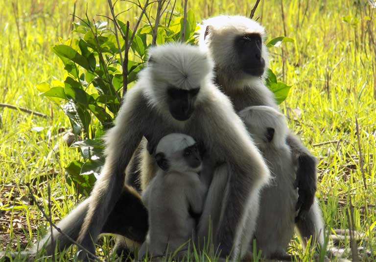 1.Gray langurs, also known as Hanuman langurs, with young. They are the most widespread langurs of South Asia. Long lumped together as one species, but now recognized as several distinct species. Photo by Atharva Tagalpellewar: Creative Commons Attribution-Share Alike 4.0 International License