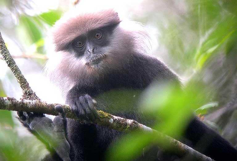 1.The Endangered Purple-faced langur (Trachypithecus vetulus) is endemic to Sri Lanka. Photo by gailhampshire licensed under the Creative Commons Attribution 2.0 Generic license