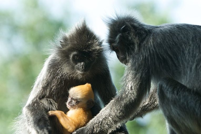 12.Silvery lutungs (Trachypithecus cristatus) with young. The species is found in Peninsular Malaysia, Sumatra and Borneo. Photo by Peter Gronemann licensed under the Creative Commons Attribution 2.0 Generic license