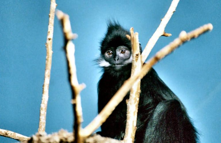An Endangered François langur (Trachypithecus francoisi). The species is native to Vietnam and Southwest China. Photo by Lea Maimone CC BY-SA 2.5