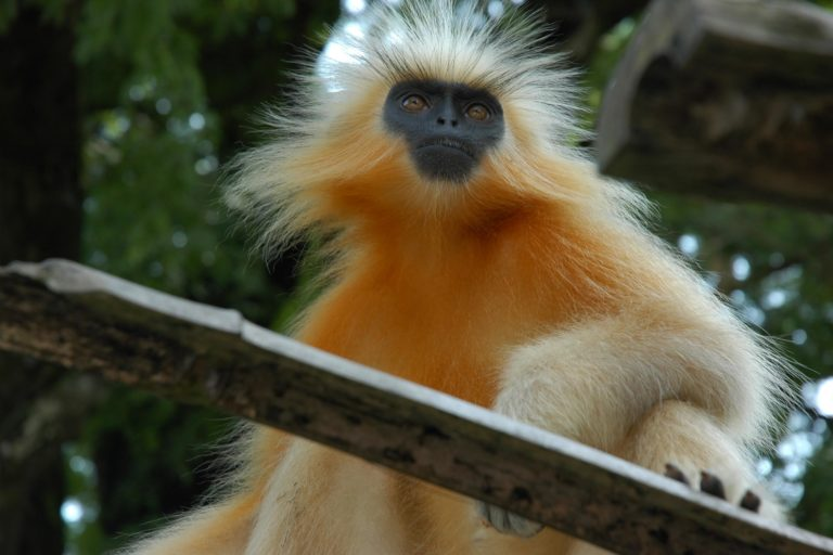 2.The Endangered Gee's Golden langur (Trachypithecus geei) found in Assam, India. Photo by Doniv79: Creative Commons Attribution-Share Alike 2.5 Generic License