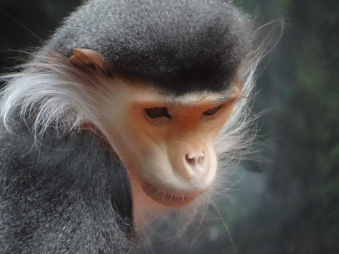 1.A Douc langur. Photo by Marian Henderson: Attribution-ShareAlike 2.0 Generic License