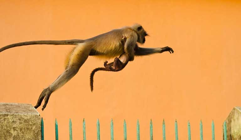 Hanuman langur and baby (Semnopithecus entellus) caught in mid-leap. Photo by Jack Wickes: Attribution-NoDerivs 2.0 Generic License