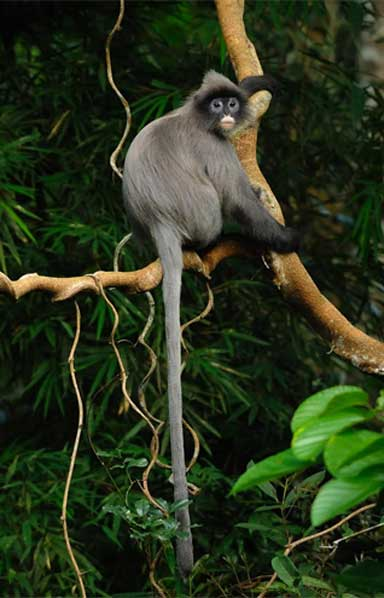 Phayre's leaf monkey (Trachypithecus phayrei) an Endangered species of lutung found in Southeast Asia. Photo by tontantravel: Attribution-ShareAlike 2.0 Generic