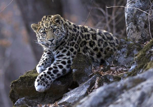In the Russian Far East, leopards can be found across an expanse of about 7,000 km² along the border with China. Their populations, although low and fragmented, have remained stable or increased in recent years.